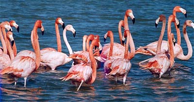 kutch-flamingos
