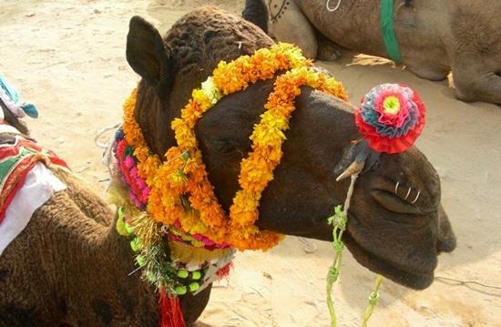 Festivals of India, pushkar camel fair 2013, pictures of pushkar fair Rajasthan