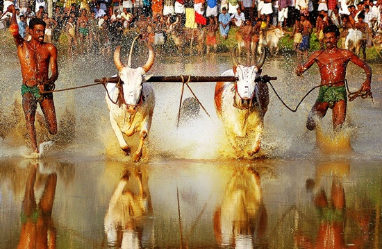 most offbeat evens in India, spain's national sport bullfighting, Kerala's bull race, kerala's Maramadi festival