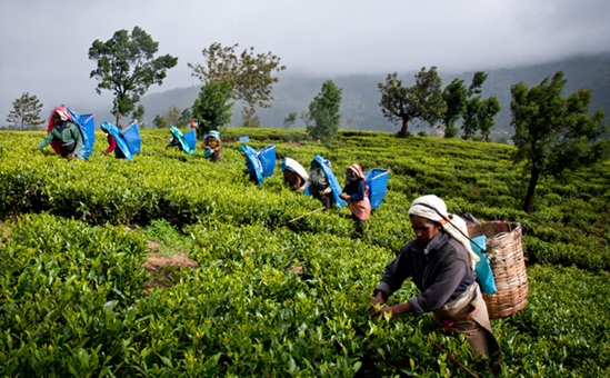 tea estate tour of Assam, things to do in Assam