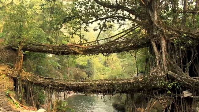 living root bridges in meghalaya, northeast India, offbeat India, IndianEagle travelbeats