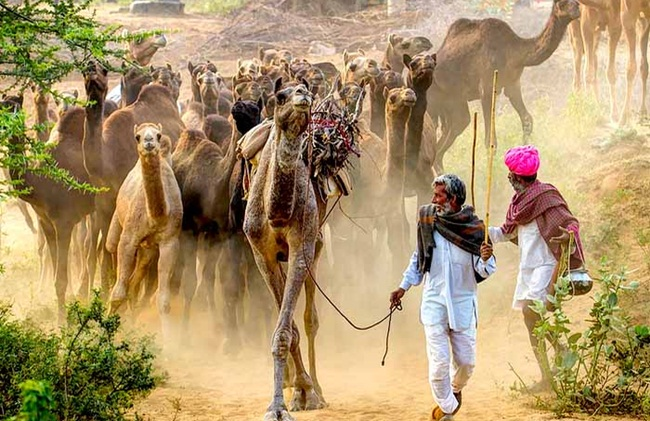 Camel race in India, Pushkar fair rajasthan, festivals of india, Indian Eagle travel