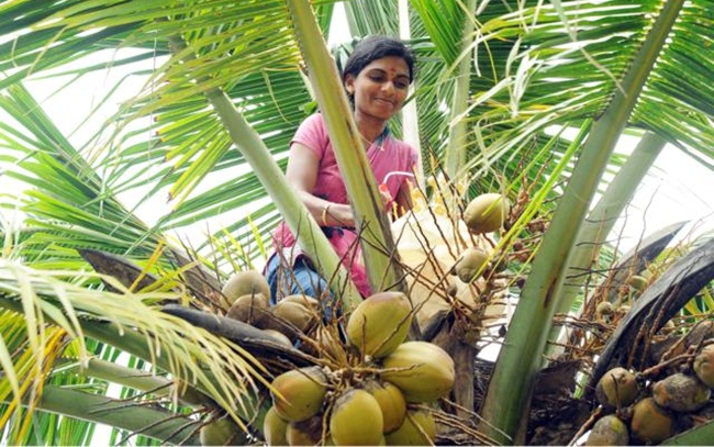 interesting facts of coconut, coconut in India, Indian Eagle travel