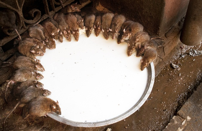 karni mata temple, temple of rats in India, offbeat Indian temples